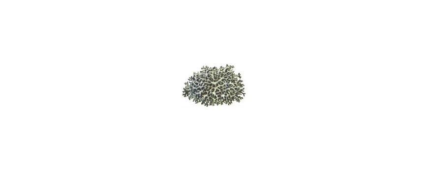 дубовый мох